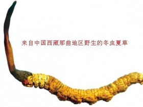 【虫草鉴定回收】如何辨别真假冬虫夏草